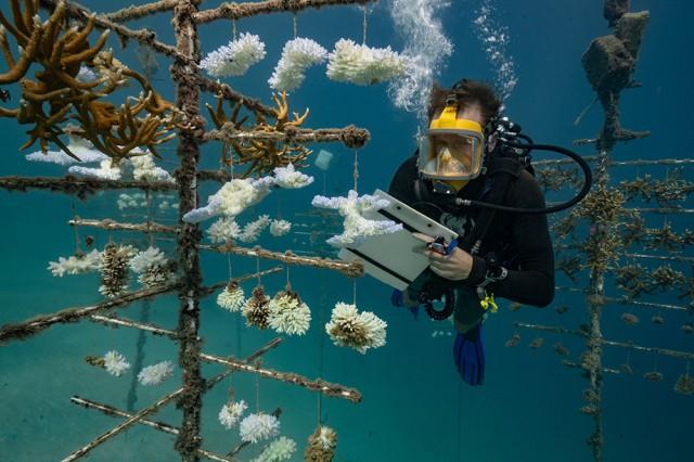 DOSSIER RECHAUFFEMENT CLIMATIQUE.Hausse de la température des océans et récifs coralliens ne font pas bon ménage. En effet, face à des augmentations de température trop importantes les coraux ont tendance à perdre leurs couleurs et blanchir et, si le phénomène perdure, ils peuvent même mourir. Même si certains montrent une capacité d'adaptation surprenante, la France, en tant que quatrième pays corallien au monde, a son rôle à jouer dans la protection de ce fragile écosystème.