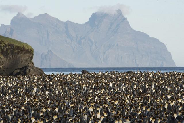 Les manchots royaux des îles Crozet impactés par le réchauffement de l'océan austral ? De récents dénombrements (…) ont montré une diminution des effectifs de près de 88 % en trente ans. Photo Tanguy Deville