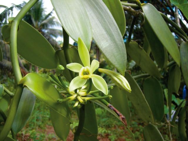 Alternative agricole : Vanille, les engrais naturels c'est possible !