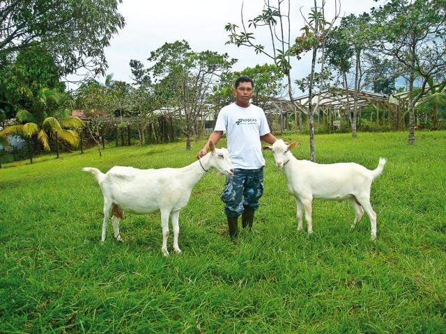 Alternative agricole : Bientôt du fromage de chèvre en Guyane