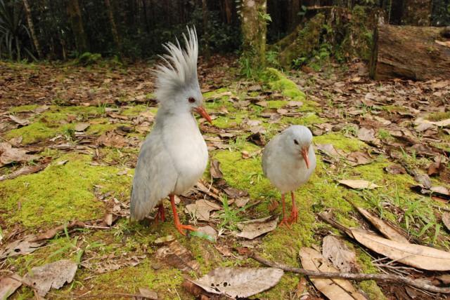 Plein de Cagous en Nouvelle-Calédonie