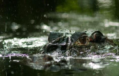 Caïman noir sous la pluie dans les marais de Kaw
