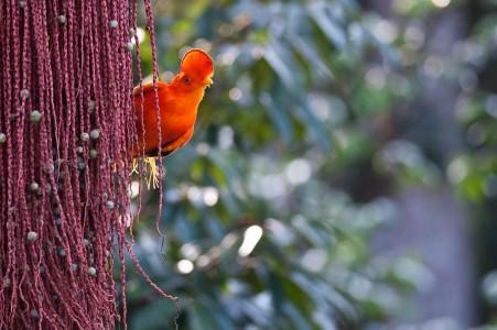 Coq de roche sur un palmier comou