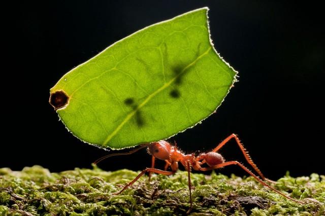 Interactions mutualistes : Identification d'un mécanisme de sanction entre des fourmis et leurs plantes hôtes