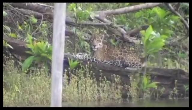 Jaguars : belle observation à Petit Saut