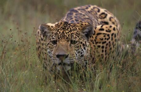 jaguar_un_roi_en_surcis_une_saison_en_guyane_8