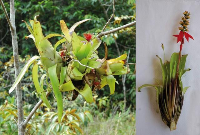 Epiphytes : Forêt de Babylone