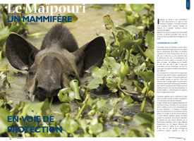 The South American tapir, a mammal on the verge of being saved