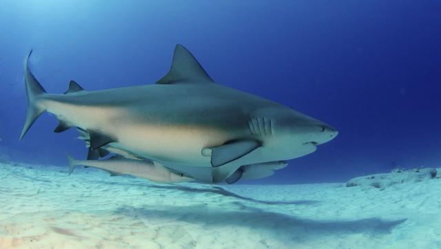 Les requins de récif disparaissent peu à peu