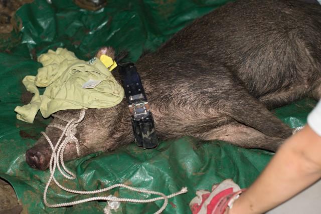 Cochon bwa :géolocalisé
