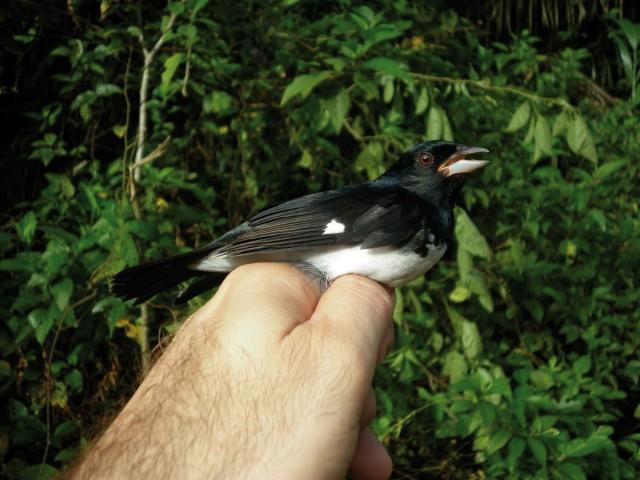ORNITHOLOGIE : Des Andes à la Guyane d'un battement d'ailes