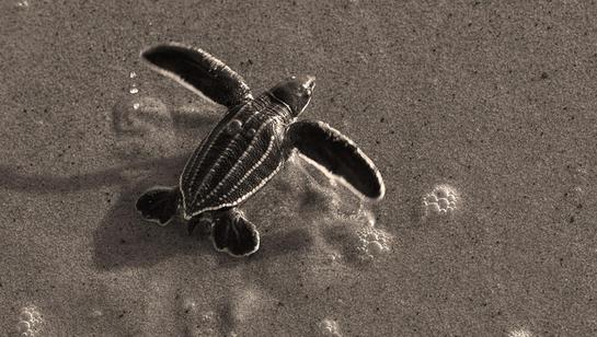 Plan d'actions en faveur : des tortues marines en Guyane