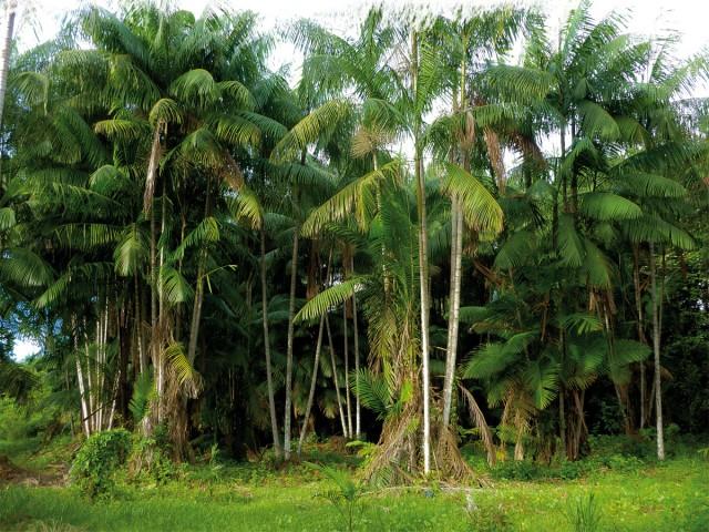 Alternative agricole : Valoriser les palmiers tropicaux